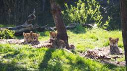 Mama cheetah en haar jonkies.