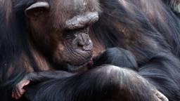 Moeder Pepa bewondert haar tweede jong. (foto: Beekse Bergen).