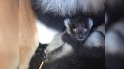 Een baby bonte vari in Zoo Veldhoven (foto: Zoo Veldhoven)