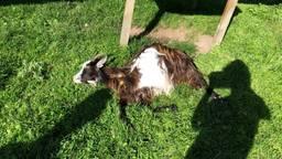 Geit Grietje werd dinsdagochtend gevonden (foto: kinderboerderij De Sik).