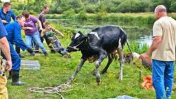Een van de koeien wordt uit het water gehaald (foto: Rico Vogels / SQ Vision).