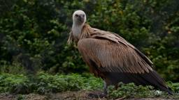 Deze vale gier gaat zijn vleugels uitslaan in Bulgarije (Foto: Alice van der Plas)
