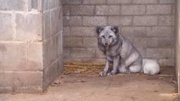 Eén van de poolvossen, hier nog in Zoo Veldhoven.