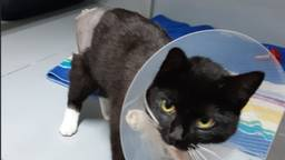 De kat liep door de mishandeling oa. een gebroken staart op (foto: Facebook politie Waalwijk).