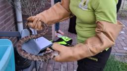 Beschermd met handschoenen werd de rattenslang vervoerd (foto: Dierenambulance Zuidoost Brabant).
