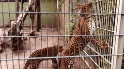 De panters in Best Zoo kijken uit naar bezoek (foto: René van Hoof).