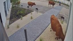 De koeien op de camerabeelden (beeld: Ortessa).