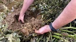 De aardappels van boer Daan zijn volledig verrot.