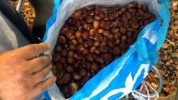 Een tas vol tamme kastanjes (foto: Erik de Jonge).