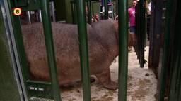Vier nieuwe nijlpaarden voor safaripark Beekse Bergen in Hilvarenbeek
