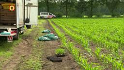 Duizenden hennepstekjes gevonden in maïsveld