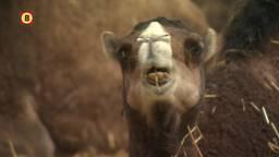 Kamelenmelk uit Berlicum populair