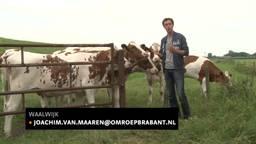 Koeien in paniek en boer boos door landende luchtballon in Waalwijk