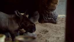 Klein wonder na ravage in Safaripark Beekse Bergen