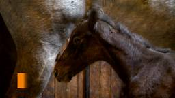 Klein natuurwonder in Udenhout: bij de familie Van Hal is een veulentweeling geboren!