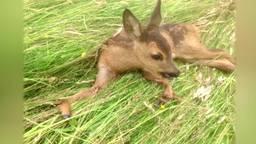 Ieder jaar tientallen dieren in Brabant aangereden door maaimachines