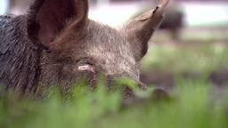 Rollen in de modder is voor varkens het lekkerst in Erp