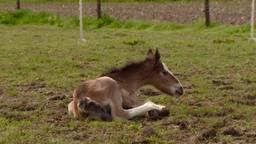 Bijzondere paardentweeling in Herpt
