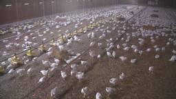 Meer longontsteking en eczeem in de buurt van veehouderijen