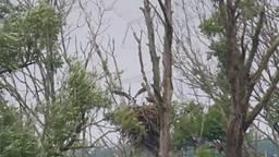 Bewijs: de visarend in de Biesbosch heeft jongen