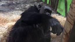 Dierentuin zoekt naam voor pasgeboren chimpansee