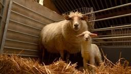 Eerste lammetjes geboren in Drunen