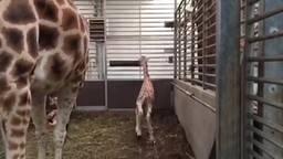 Geboortegolf giraffes in safaripark Beekse Bergen