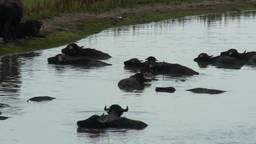 Zomerhitte slaat toe in de Biesbosch mensen denken nijlpaarden te zien in het water