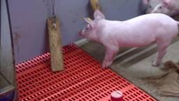 Zo werkt een luchtwasser in een varkensstal.