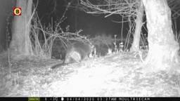 Primeur: de bever in het Leenderbos