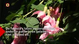 Fuchsia liefhebber René kan en wil niet op vakantie door en voor zijn fuchsia's