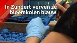 Opmerkelijk: voor het bloemencorso van Zundert worden bloemkolen blauw geverfd