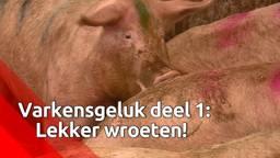 Varkens leven gelukkiger door te wroeten in de grond