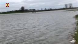 Drie taurossen keren vanaf een eilandje in de Maas terug naar een veilige omgeving (video: stichting Taurus).