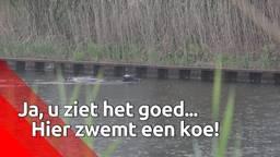 Koeien vallen in het kanaal na grote ontsnapping, brandweer moet er eentje redden