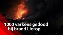Duizend varkens overleden bij grote brand in stal in Lierop
