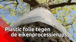Folie in de strijd tegen de eikenprocessierups