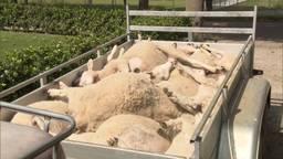 Opnieuw 20 schapen doodgebeten in Hedinkhuizen