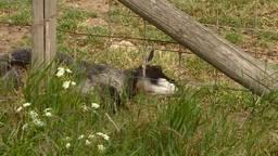 Wolf veroorzaakt alwéér bloedbad bij schapenboer