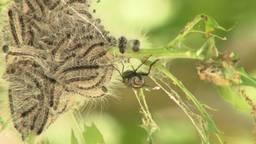 Vlieg vermoordt eikenprocessierups op gruwelijke wijze, maar het helpt wel