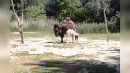 Het kameeltje kon na een paar uur al op eigen benen staan (Beelden: ZooParc Overloon).