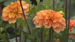 Buurtschappen Zundert vegen plan van tafel voor een alternatief bloemencorso