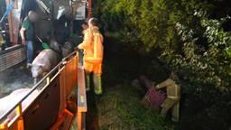 Trailer met varkens kantelt in Leende, groot aantal dieren overleeft ongeluk niet
