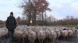 250 schapen wandelen door de straten van Helvoirt