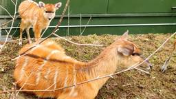 Sitatoenga ter wereld gekomen in Safaripark Beekse Bergen