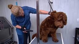 De trimsalon van Diana is voorlopig alleen open voor haar eigen hond.