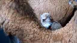 Zo staat de pasgeboren Maxime er bij (video: Beekse Bergen).