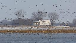 Door de strenge vorst wordt een invasie van vogels verwacht in de Biesbosch