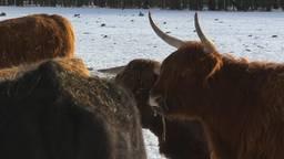 Waterbuffels, Konikpaarden en Schotse Hooglanders ondergebracht op winters 'schuiladres' in de Biesbosch