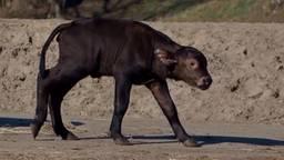 Drie keer geboortegeluk in safaripark met Bono, Suus en Kato